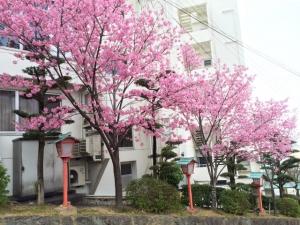 今見るしかないっ!桜満開!!