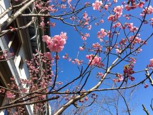 3/20.21桜の開花情報!花びらが見えました★