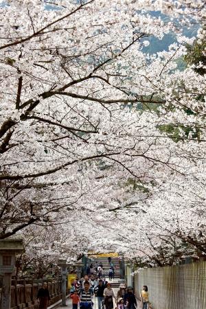 2019年 桜スポット①~こんぴらさん~