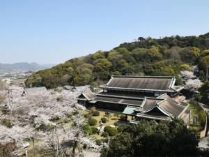 琴平町公会堂の桜が見頃です。