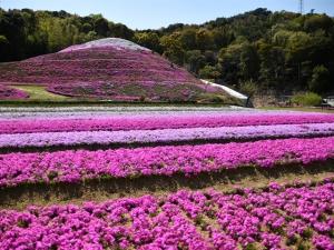 【芝桜富士】香川県東かがわ市にある富士山をかたどった芝桜の私設公園♪