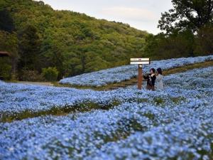 【国営讃岐まんのう公園】丘一面が「ネモフィラ」で淡い空色に彩られていました♪