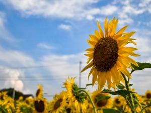 【高松市香南町ひまわり畑】青空に映える「ひまわり」が見頃♪