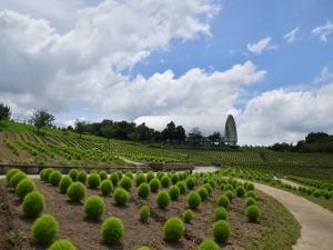 【国営讃岐まんのう公園】ひまわりが見頃♪芝生アートやライムグリーンのコキアを楽しめます♪