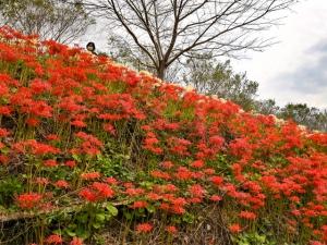 満開時は赤と白の彼岸花が山の斜面を彩る【宝山湖公園】 青い睡蓮も見頃。