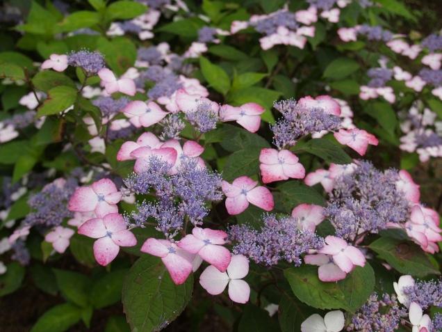 40品種2万株アジサイが園内を彩る「あじさいまつり」