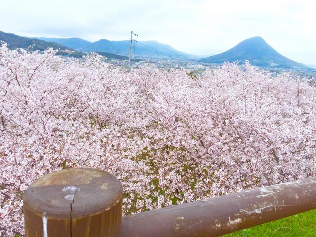 「 桜の絨毯 」のように見える穴場スポット♪*.。