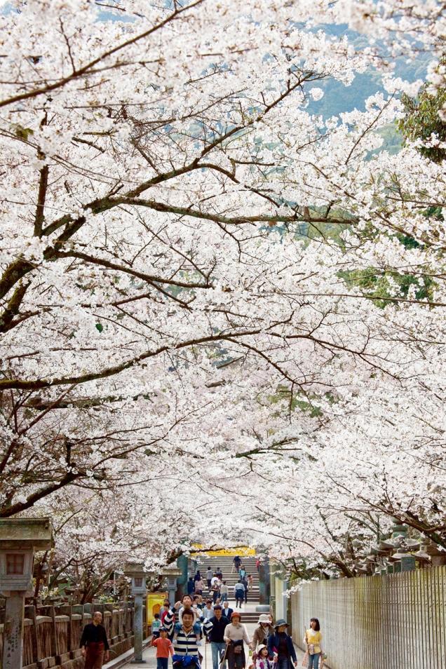 金刀比羅宮の桜の名所「桜馬場(さくらのばば)」