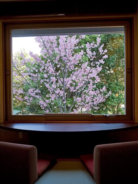 桜の抄の陽光桜が見頃♪
