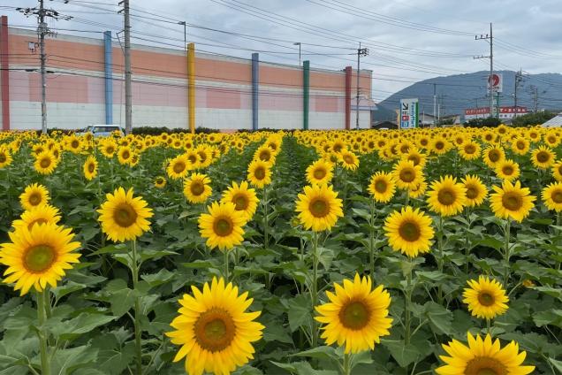 【まんのう町】マルナカまんのう店付近のひまわり畑が見頃♪