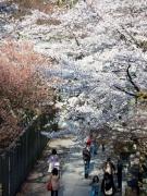 金刀比羅宮の桜の名所「桜馬場(さくらのばば)」の去年の様子です♪