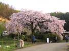 綾川町西分にございます『 し だ れ 桜 』の木です!