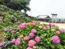 香川県観音寺市にあります粟井神社のアジサイΣ(・ω・ノ)ノ