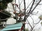桜の蕾発見!