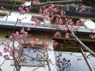 桜の開花最新情報!!