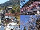 ☆琴平町の桜ちゃんを御紹介しますpart1☆