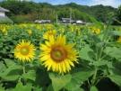 5ヘクタールの広大な畑に、約100万本の「ひまわり」の花が!!
