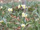 早春を感じる小さな白い花「ニホンズイセン」が咲き始めました