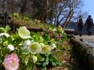 まんのう公園「クリスマスローズフェスタ」   ※3月3日土曜日「桜の抄」若干空室あります