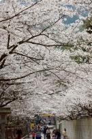2018年 桜スポット①~こんぴらさん~