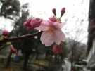 桜まもなく開花♪