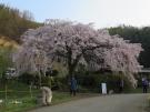 2018年桜スポット 堀池のしだれ桜