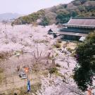 琴平の公会堂の桜もほぼ満開♪