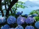 紫雲出山のアジサイ