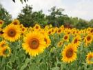 7月下旬頃~「約7万本のひまわり畑」が登場♪