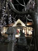 琴平駅前の桜