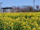 国営讃岐まんのう公園 「早春フェスタ」  ※2月29日空室あります。