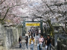 卒業旅行におすすめスポット 【金刀比羅宮の桜】