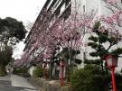 """桜の抄の""""陽光桜""""が見頃を迎えました♪"""