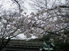 琴平町公会堂の桜が咲き始めました