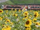ひまわり畑とアンパンマン列車♪  7月18日より新しい「アンパンマン列車」登場!