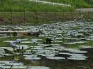 「財田里山ビオトープ」 プチ「モネの庭」? 青い睡蓮が咲いてます