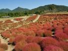 【国営讃岐まんのう公園】キバナコスモスやコキア(紅葉)が楽しめます