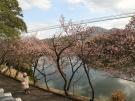 【丸亀市・福成寺】一足早い春を感じさせてくれる寒桜とメジロ(^^♪