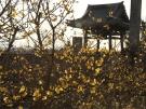 【三豊市・延命院】蝋梅の甘い香りが春の訪れを感じさせてくれます