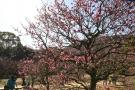 【特別名勝 栗林公園】梅が見頃を迎えています。