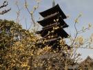 【本山寺】蝋梅が見頃を迎えていました