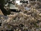 【総本山善通寺】涅槃桜が見頃を迎えていました♪