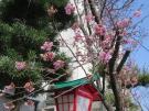 【陽光桜】咲き始めました♪