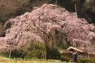 【堀池の枝垂れ桜】香川の桜スポット★間もなく見頃♪