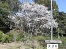 【公渕森林公園】淡墨桜(うすずみさくら)が見頃♪