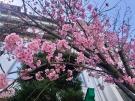 ~桜情報~