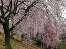 【香川県園芸センター】「三春滝桜」、陽光桜が見頃♪