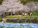 「善通寺五岳の里市民集いの丘公園」春爛漫!ネモフィラの青い絨毯と桜のコラボ ※4月3日(土)若干空室あります。