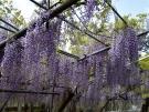 【岩田神社】樹齢800年超といわれる藤が見頃♪