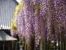 【萬福寺】藤の花の爽やかな香りでいっぱい♪